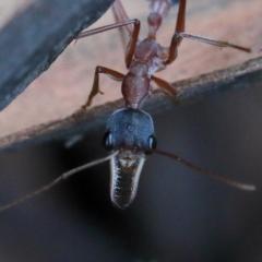 Myrmecia nigriceps (Black-headed bull ant) at Dryandra St Woodland - 5 Feb 2021 by ConBoekel