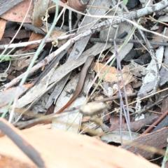 Morethia boulengeri (Boulenger's Skink) at Dryandra St Woodland - 5 Feb 2021 by ConBoekel