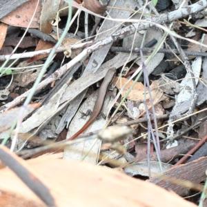 Morethia boulengeri at Dryandra St Woodland - 5 Feb 2021