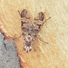 Pyrgotidae sp. (family) (A pyrgotid fly) at Gungaderra Grasslands - 8 Feb 2021 by tpreston