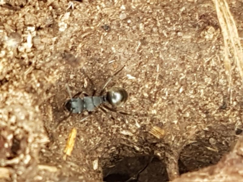 Polyrhachis sp. (genus) at Gungaderra Grasslands - 9 Feb 2021