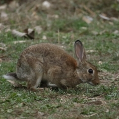 Oryctolagus cuniculus (European Rabbit) at Ainslie, ACT - 4 Feb 2021 by jbromilow50