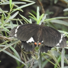 Papilio aegeus (Orchard Swallowtail) at ANBG - 9 Feb 2021 by HelenCross