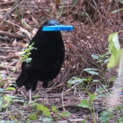 Ptilonorhynchus violaceus (Satin Bowerbird) at ANBG - 7 Feb 2021 by Christine