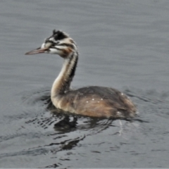 Podiceps cristatus (Great Crested Grebe) at Lower Cotter Catchment - 8 Feb 2021 by JohnBundock