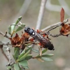 Ichneumon promissorius (Banded caterpillar parasite wasp) at Aranda Bushland - 30 Jan 2021 by CathB