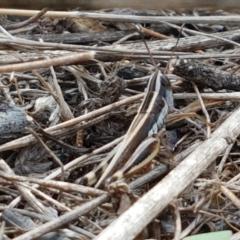 Macrotona australis (Common Macrotona Grasshopper) at Ginninderry Conservation Corridor - 9 Feb 2021 by tpreston