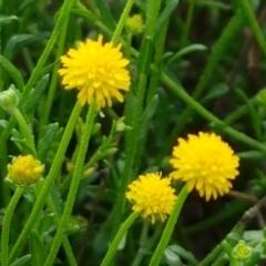 Calotis lappulacea (Yellow burr daisy) at Ginninderry Conservation Corridor - 9 Feb 2021 by tpreston