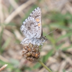 Lucia limbaria (Chequered Copper) at Cooleman Ridge - 9 Feb 2021 by SWishart