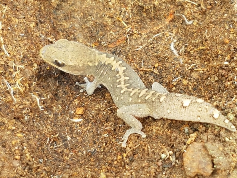 Diplodactylus vittatus at Ginninderry Conservation Corridor - 9 Feb 2021
