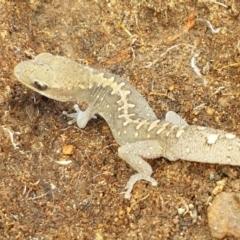 Diplodactylus vittatus (Eastern Stone Gecko) at Ginninderry Conservation Corridor - 9 Feb 2021 by tpreston