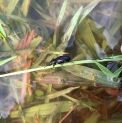Adelium brevicorne (Bronzed field beetle) at Murrumbateman, NSW - 6 Feb 2021 by SimoneC