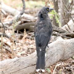 Strepera graculina (Pied Currawong) at Ainslie, ACT - 9 Feb 2021 by jbromilow50