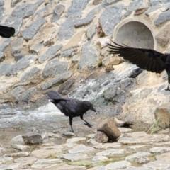 Corvus coronoides (Australian Raven) at Throsby, ACT - 9 Feb 2021 by davobj