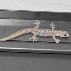 Christinus marmoratus (Southern Marbled Gecko) at Wanniassa, ACT - 9 Feb 2021 by JohnBundock