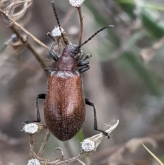 Ecnolagria grandis (Honeybrown beetle) at Red Hill Nature Reserve - 8 Feb 2021 by JackyF