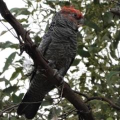 Callocephalon fimbriatum (Gang-gang Cockatoo) at Hughes Grassy Woodland - 8 Feb 2021 by JackyF