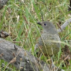 Ptilonorhynchus violaceus (Satin Bowerbird) at Red Hill Nature Reserve - 8 Feb 2021 by JackyF