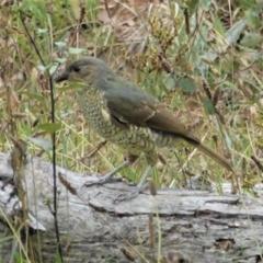 Ptilonorhynchus violaceus at Red Hill Nature Reserve - 8 Feb 2021