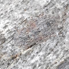 Stenocotis depressa (Gum bark leafhopper) at Kosciuszko National Park - 8 Feb 2021 by Harrisi