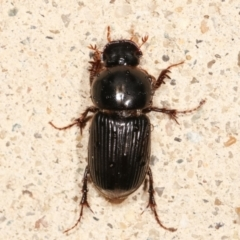 Acrossidius tasmaniae (Black-headed pasture cockchafer) at Melba, ACT - 5 Feb 2021 by kasiaaus