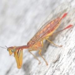 Mantispidae (family) (Unidentified mantisfly) at Kosciuszko National Park, NSW - 8 Feb 2021 by Harrisi