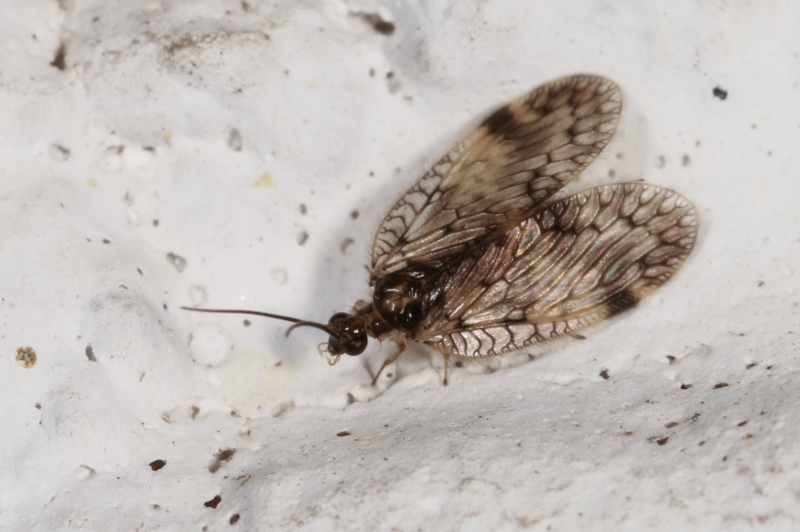 Psectra sp. (genus) at Melba, ACT - 5 Feb 2021