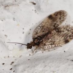 Carobius elongatus (Brown Lacewing) at Melba, ACT - 5 Feb 2021 by kasiaaus