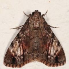 Salma cinerascens (A Pyralid moth) at Melba, ACT - 5 Feb 2021 by kasiaaus