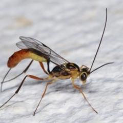 Ichneumonidae sp. (family) (Unidentified ichneumon wasp) at Melba, ACT - 5 Feb 2021 by kasiaaus