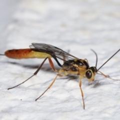 Ichneumonidae sp. (family) at Melba, ACT - 5 Feb 2021