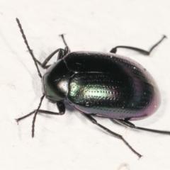 Chalcopteroides columbinus (Rainbow darkling beetle) at Melba, ACT - 5 Feb 2021 by kasiaaus