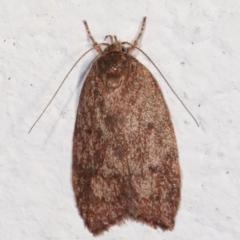 Garrha (genus) (A concealer moth) at Melba, ACT - 5 Feb 2021 by kasiaaus