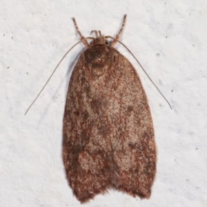 Garrha (genus) at Melba, ACT - 6 Feb 2021