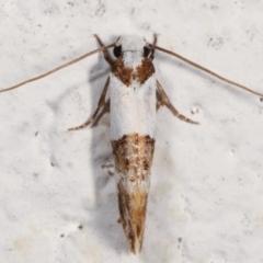 Monopis meliorella (Blotched Monopis Moth) at Melba, ACT - 5 Feb 2021 by kasiaaus