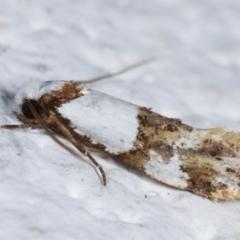 Monopis meliorella at Melba, ACT - 6 Feb 2021