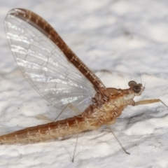 Ephemeroptera sp. (order) (Unidentified Mayfly) at Melba, ACT - 5 Feb 2021 by kasiaaus