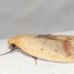 Heteroteucha occidua (A concealer moth) at Melba, ACT - 5 Feb 2021 by kasiaaus