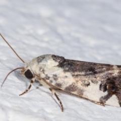 Acontia nivipicta (Blotched Shoulder) at Melba, ACT - 5 Feb 2021 by kasiaaus