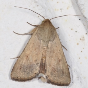 Helicoverpa (genus) at Melba, ACT - 6 Feb 2021