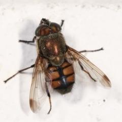 Stomorhina sp. (genus) (TBC) at Flynn, ACT - 5 Feb 2021 by kasiaaus