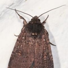 Proteuxoa provisional species 1 at Melba, ACT - 6 Feb 2021