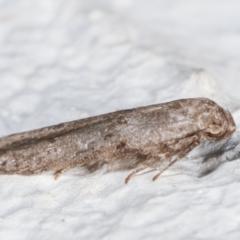 Blastobasis (genus) at Melba, ACT - 6 Feb 2021
