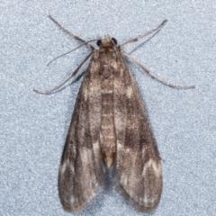 Hygraula nitens (Australian Pond Moth) at Melba, ACT - 5 Feb 2021 by kasiaaus