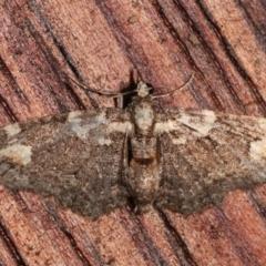 Pasiphilodes testulata (Pome Looper Moth) at Melba, ACT - 6 Feb 2021 by kasiaaus