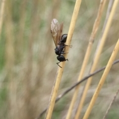 Formicidae sp. (family) (Unidentified ant) at Aranda, ACT - 9 Feb 2021 by Jubeyjubes