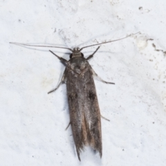 Oenochroa and Artiastis (genera) at Melba, ACT - 2 Feb 2021 by kasiaaus