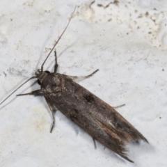 Oenochroa and Artiastis (genera) at Melba, ACT - 2 Feb 2021