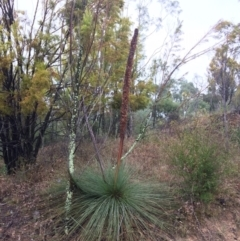 Xanthorrhoea glauca subsp. angustifolia (Grey Grass-tree) at Coree, ACT - 4 Feb 2021 by NickiTaws