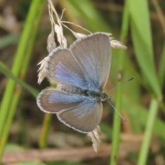 Zizina otis (Common Grass-blue) at Conder, ACT - 29 Dec 2020 by michaelb